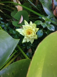 Sneaky water lily {treasure}